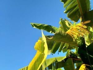 Biologische Textilien aus Bananenfasern produzieren
