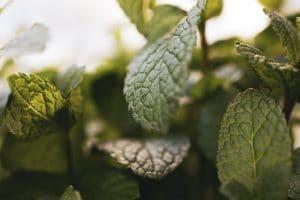 Stevia - kalorienfreie Zuckeralternative