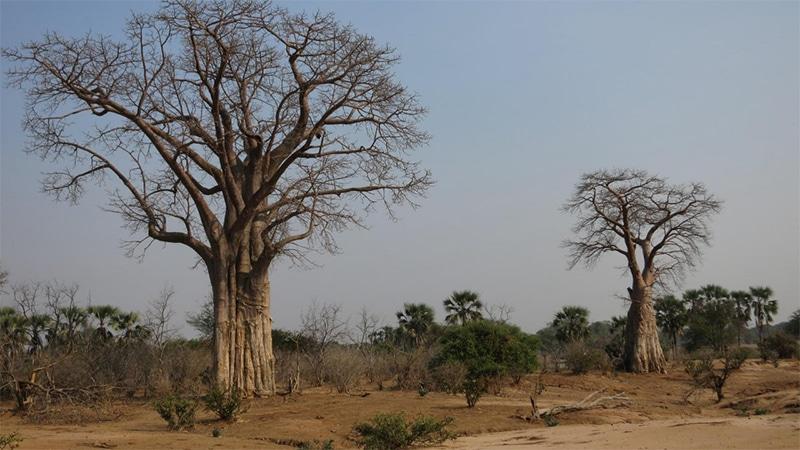 baobab affenbrotbaum